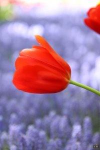 keukenhof, tulpen